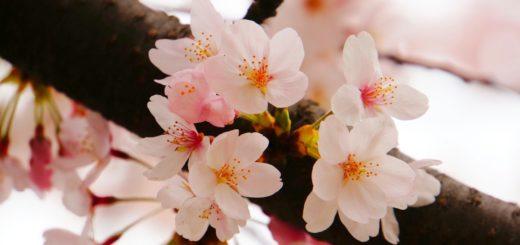 """Körsbärsblommor, eller """"sakura"""", är ofta i full blomning tidigt i april"""