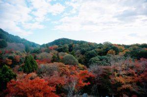Blandskog med bland annat den japanska lönnen